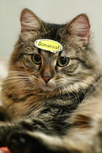 Кошки взгляд кошки взгляд сибирской