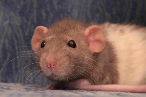 Сонник Крысы и кошки вместе во сне видеть к чему снятся