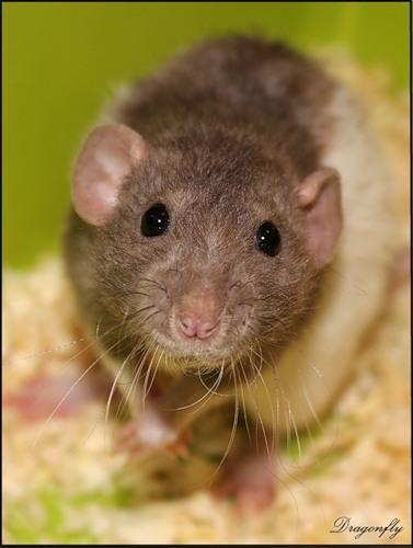 Сонник Крыса к чему снится Крыса во сне видеть