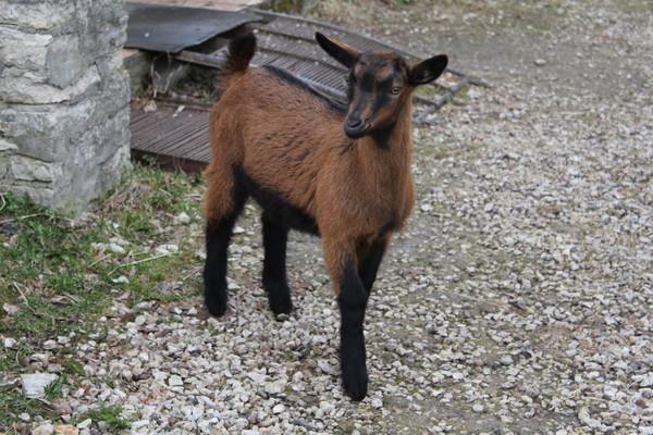 козы бурые фото