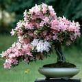 Azalea bonsai! by julie.m.