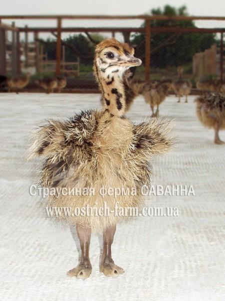 При работе с яйцами, идущими в закладку в инкубатор...  Март - август.  Самка страуса начинает нестись примерно в 3х...