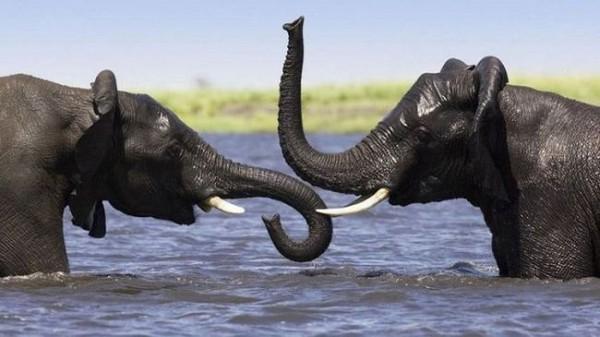 Смехота-23 Слоны купаются в воде