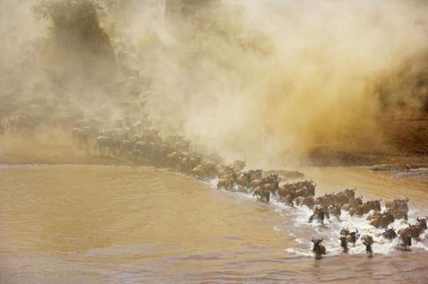 Смехота-23 Стадо быков несется по воде