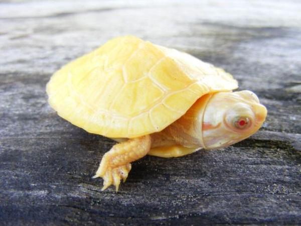 Смехота-23 Черепаха желтого цвета - альбинос