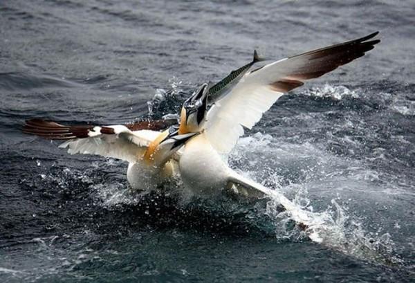 Смехота-23 Две птицы на воде