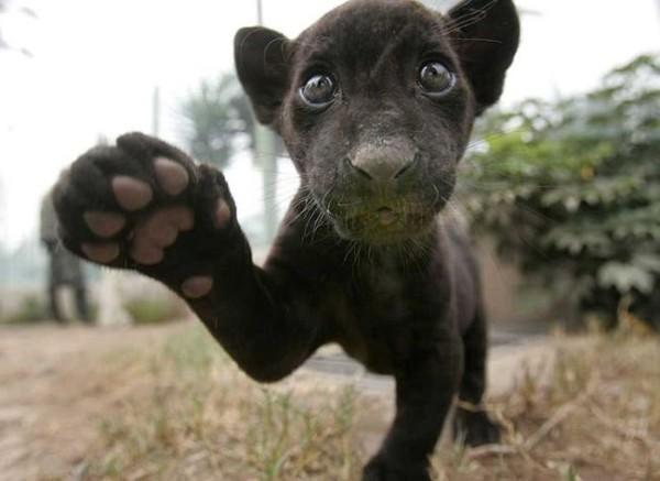 Смехота-23 Маленькая черная пантера
