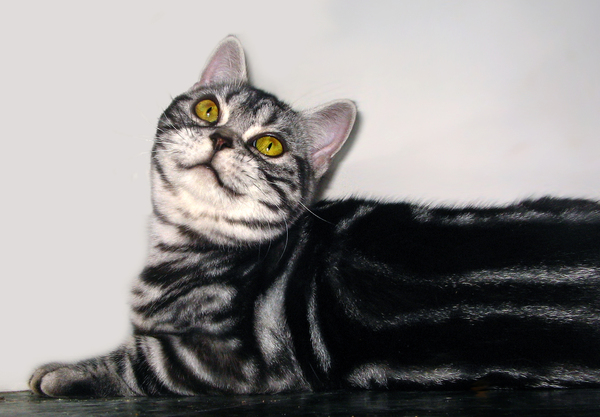 Котята Американской короткошерстной