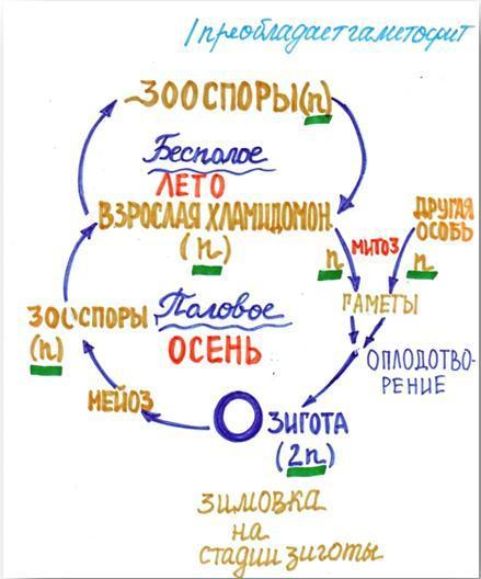 2.Схема жизненного цикла листостебельного мха кукушкина льна.