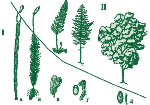 Схема эволюционных изменений относительных размеров (увеличение) бесполого поколения (2 n ) и (редукция)...
