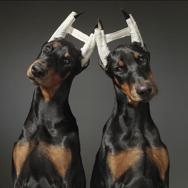...Зачем собакам обрезают хвосты и уши? I-1462