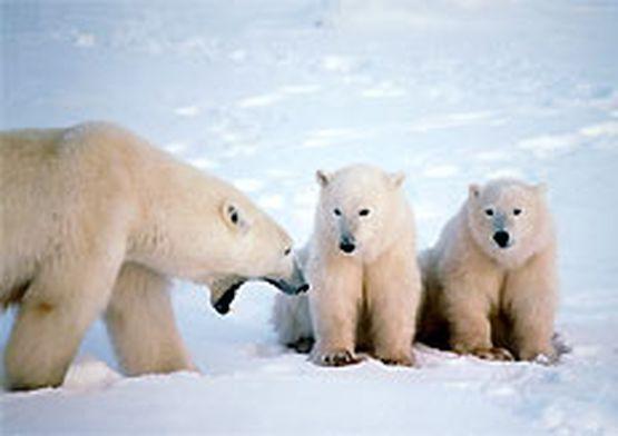 Белые медведи. фото интернета.  Категория записи:Фото.