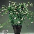 Хойя мясистая или восковой плющ.  Латинское название: Hoya carnosa, тип растения: цветущее вьющееся растение.