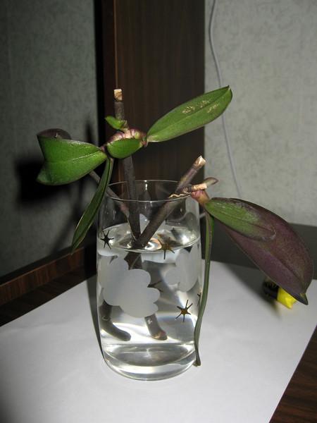 Как размножить орхидею в домашних условиях цветоносами видео - Pressmsk.ru