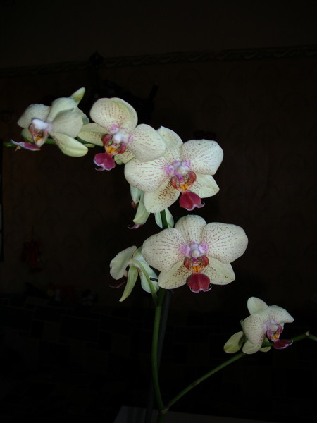 Домашний уход за королевской орхидеей в домашних условиях