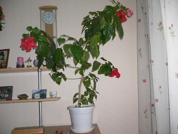 Почему розы сбрасывают листья летом