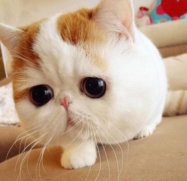 Кто знает что это за порода кошки