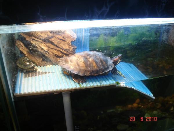 Куда выпустить красноухую черепаху
