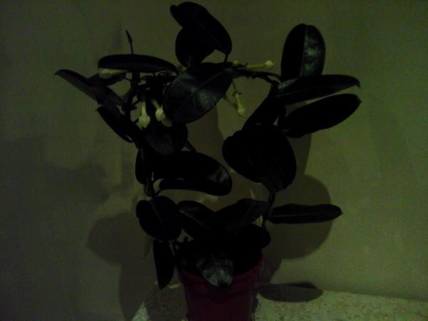 Какое это комнатное растение