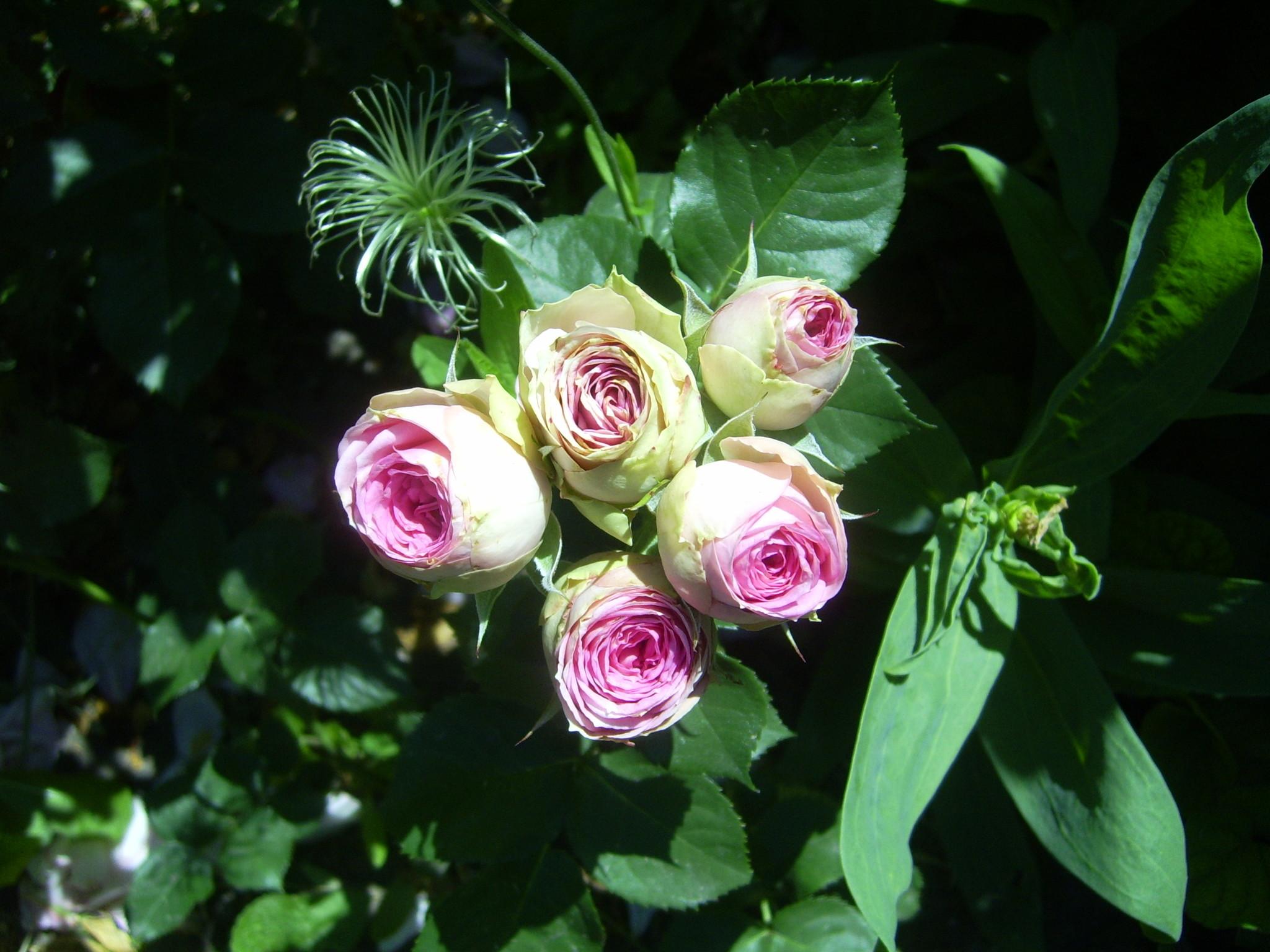 Красиво смотрятся розы на