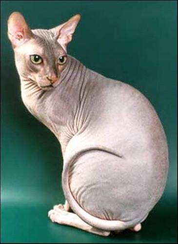У меня кот породы Донской сфинкс, ему уже 2 года и котенком мы его кормили