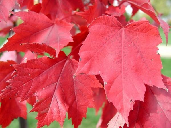 Еще один высокий клен - ложноплатановый (Acer pseudoplataniodes) из горных лесов...