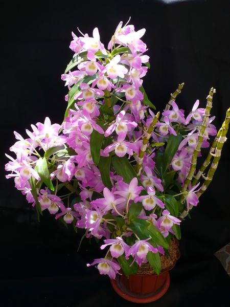 Уход за орхидеями дендробиум в домашних условиях
