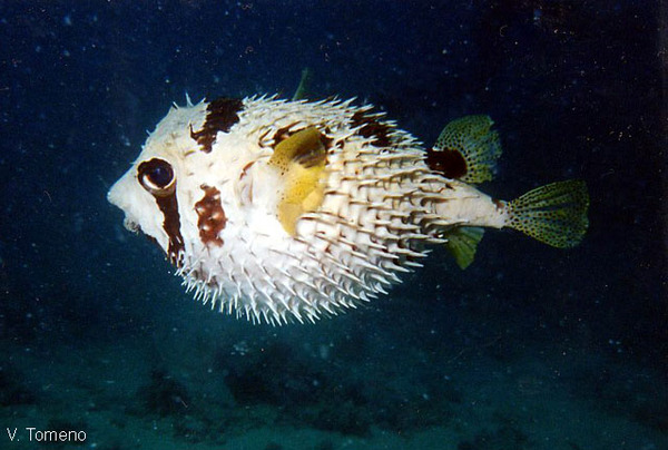 Диодон рыба