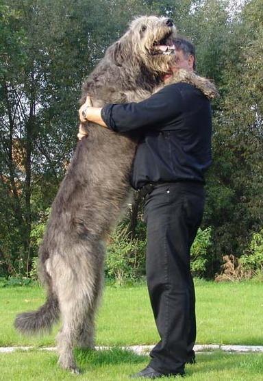 Самая крупная высокая порода собак