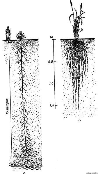 Ксерофиты с наиболее ярко выраженными ксероморфными чертами строения листьев, перечисленными выше, имеют своеобразный...