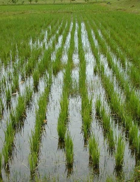 Рис как растет фото