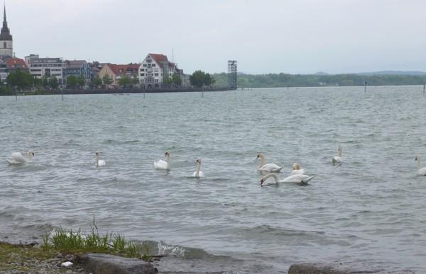 Взволнованные лебеди