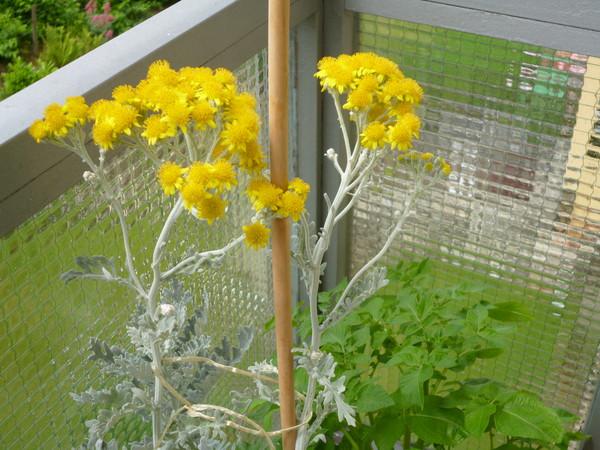 Цветы серебрянного листа