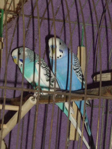 аллергия на попугаев корелла