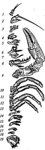 Тело речного рака разделяется на две части - переднюю (головогрудь), покрытую головогрудным буро-зеленым панцырем и...