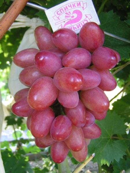виноград арго описание сорта фото