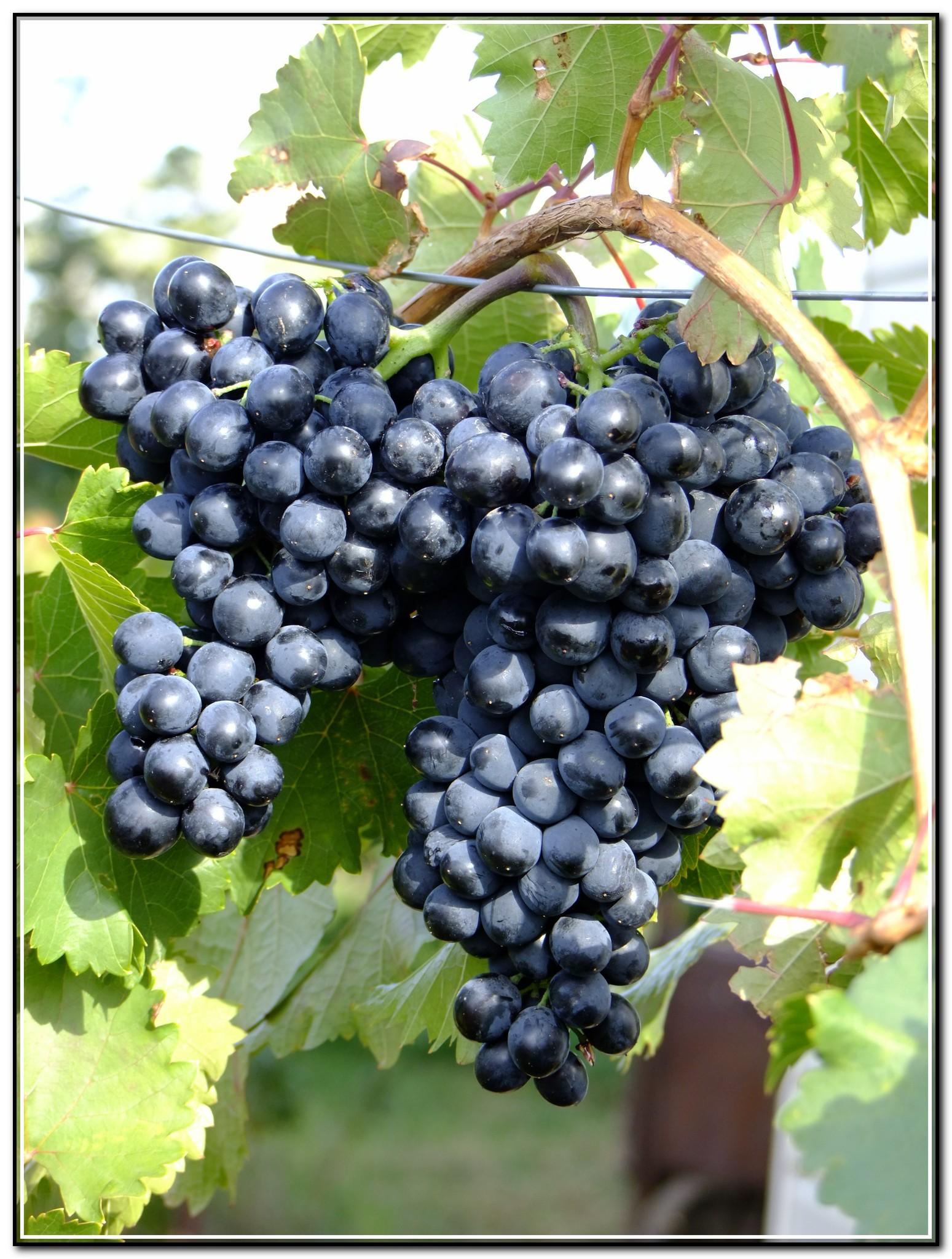 Все о винограде Флора или белоягодной Лоре