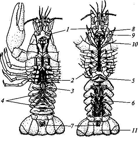Речной рак (вид с брюшной стороны) .