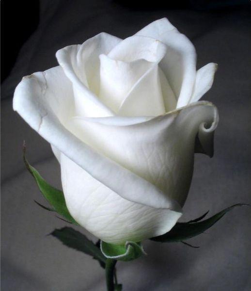 Розы дарят в честь искренней любви