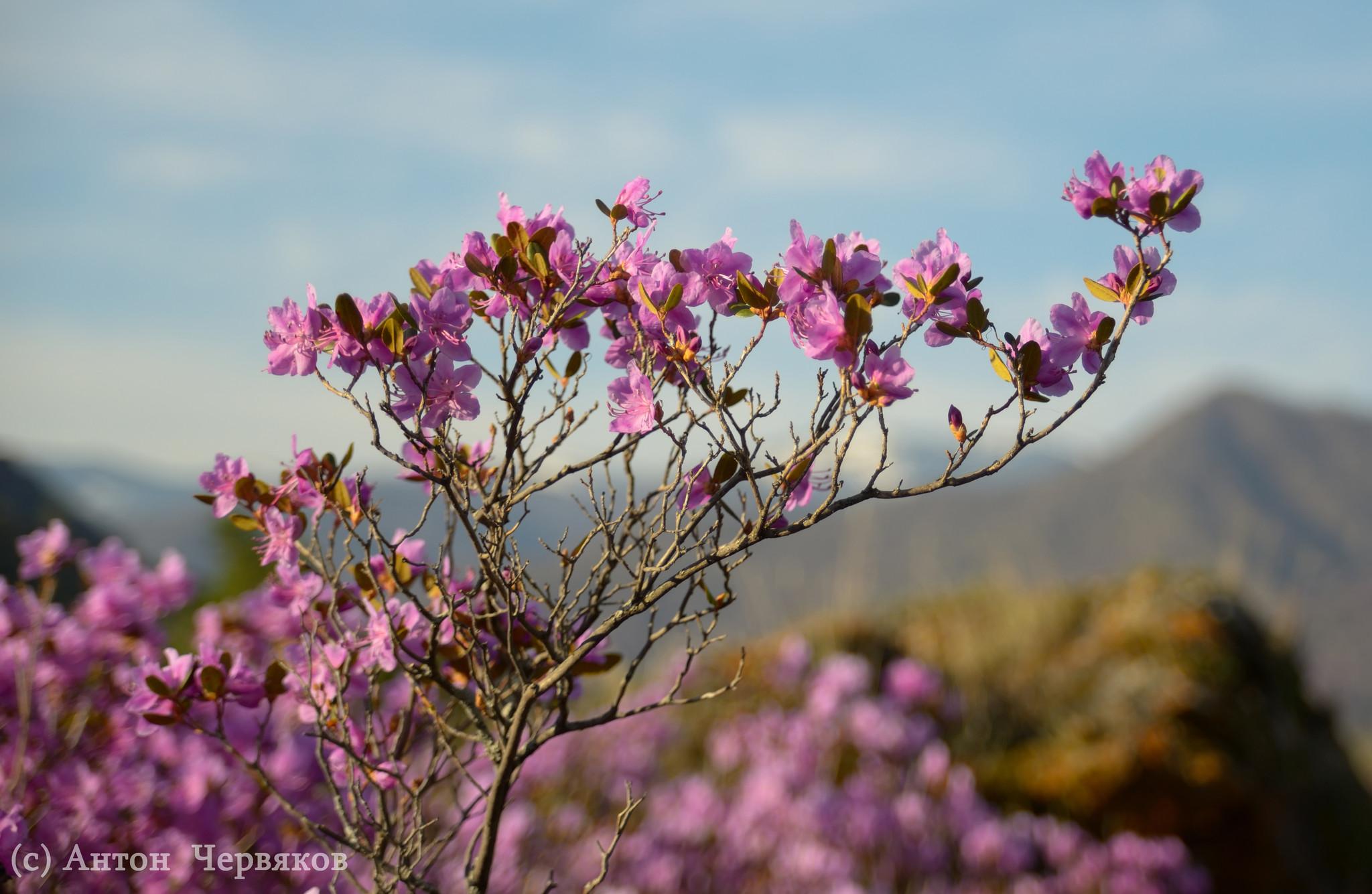 В горах Алтая начал цвести маральник