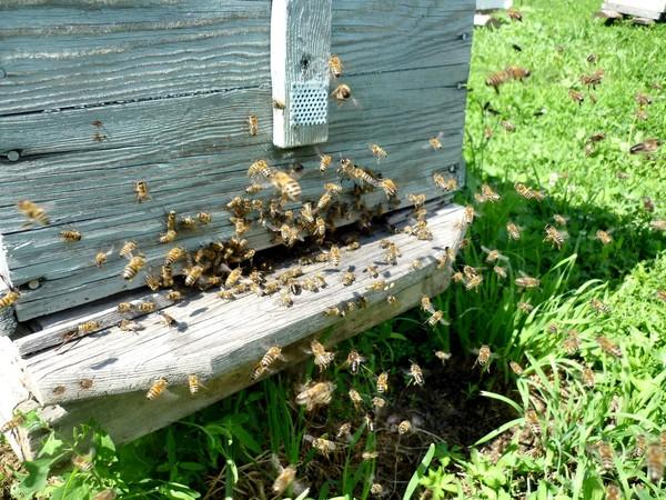 Пчелы на пасеке Александра Беляева