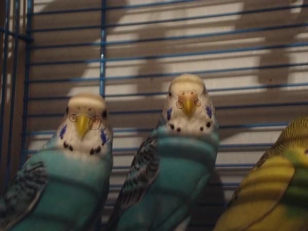 волнистые попугаи I-142
