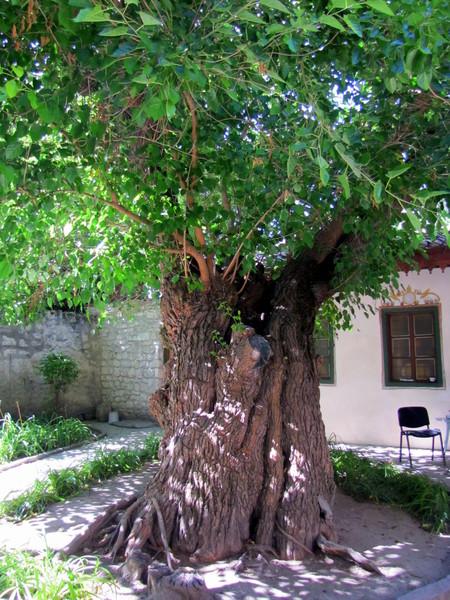 Шелковица во дворике Ханского дворца