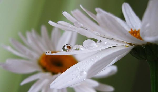 Роса на цветках