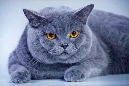 Сколько стоит породистый котенокю