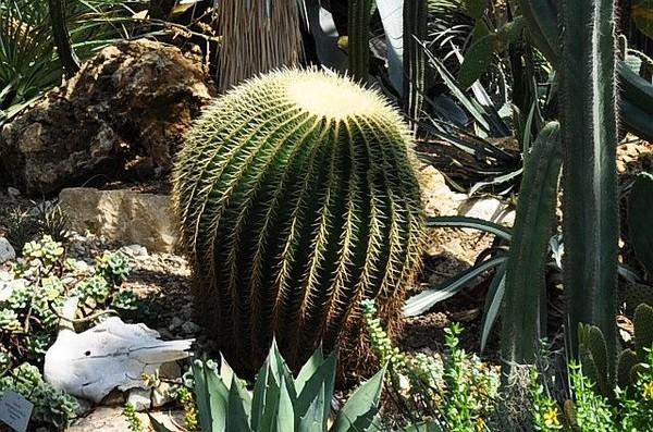 кактус - долгожитель