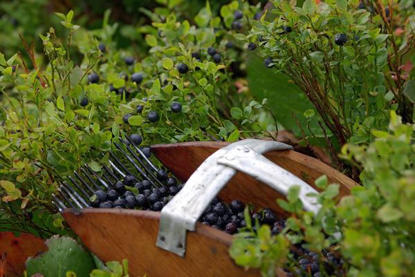 Сбор ягод своими руками 40