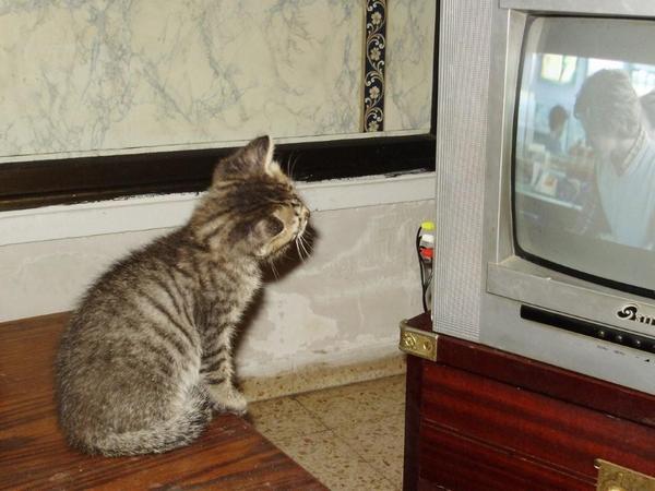 Сколько стоит египетская кошка. мейн кун самый большой. папиллома на лапе у