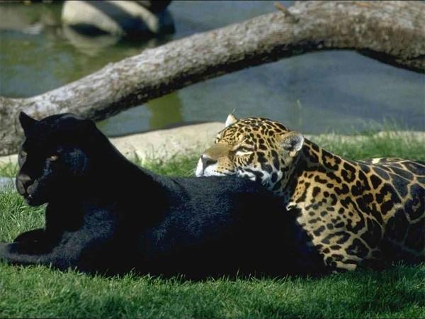 Большие кошки пантеры лев ягуар
