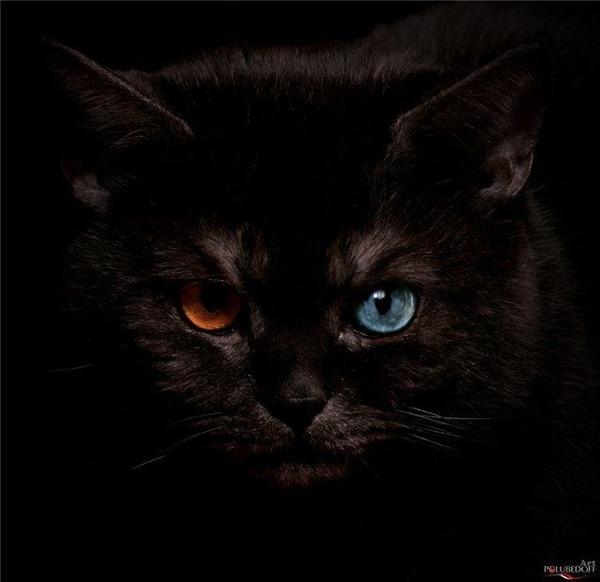 Картинки по запросу Как выглядят кошки с разноцветными глазами